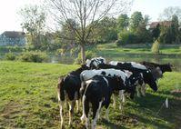 Rinder am Ufer der Weser Quelle: (Foto: Thünen-Institut/Claudia Heidecke) (idw)
