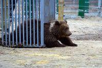Bärenkind Nastia im Schutzzentrum. Bild:  VIER PFOTEN