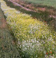Weizenfeld mit Blühstreifen, der die große Dichte an Blattlaus-Gegenspielern noch erhöhen kann. Quelle: Barbara Scheid. (idw)