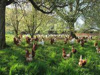 Glückliche Hühner durch Sondersteuern? Bei den hohen Steuern in Deutschland, müßten dann nicht alle Menschen jubeln und feiern? (Symbolbild)
