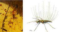 """Florfliegenlarve mit """"Rückenkorb"""" (links) aus extrem langgestreckten, borstenartigen Verlängerungen Quelle: © Foto: Bo Wang, Nanjing (idw)"""