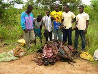 Wilderer und ihre Beute aus einem westafrikanischen Regenwald. Der zunehmende Schwund großer Tiere hat dort gravierende Folgen für die Biodiversität. Quelle: Foto: Karl Eduard Linsenmair (idw)