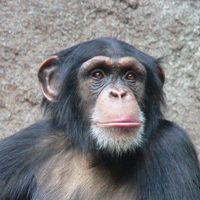 """Risikobereit beim """"Wetten"""" um Bananenstückchen: der Schimpanse. Alle vier Menschenaffenarten zeigten ein ähnliches Entscheidungsverhalten in den Versuchen der Max Planck Forscher; Schimpansen und Orang-Utans waren jedoch noch risikobereiter als Gorillas und Bonobos. Bild: Thomas Lersch (idw)"""