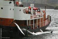 Der Isländische Walfänger Hvalur 8 kehrt mit dem 2013 ersten gefangenen Wal in den Hafen von Hvalfjordur zurück. Bild: Greenpeace