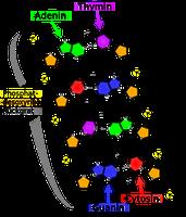 Strukturformel eines DNA-Ausschnittes