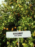 Bergamotte-Baum