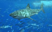 Ein weißer Hai (Symbolbild)