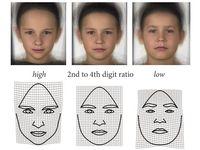 Morphs (oben) und sogenannte Deformationsgitter (unten) zeigen die Gesichtsformen von Buben, die mit hohem, durchschnittlichem und niedrigem (von links) Fingerlängenverhältnis assoziiert sind. Quelle: (Quelle: Sonja Windhager, Katrin Schäfer) (idw)