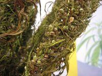 Samen, die noch auf einer getrockneten Hanfpflanze hängen