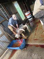 Lämmer wurden bei vollem Bewusstsein geschlachtet – einige Tiere bewegten sich noch, als die Arbeiter begannen sie zu häuten. Bild:  PETA USA