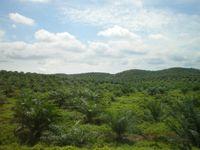 Junge monokultur Palmöl-Plantage in Ost-Malaysia (Symbolbild)