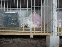 Nach dem Rupfen sind die Tiere traumatisiert. Bild: PETA
