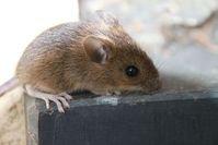 Maus: wird schlauer durch menschliche Zellen. Bild: pixelio.de/A. Schweppe-Rahe