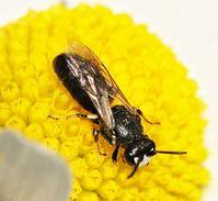 Männchen der Maskenbiene Hylaeus signatus