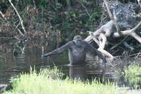 Gorillaweibchen (Symbolbild)