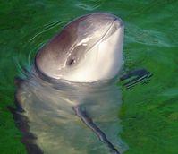 Der Gewöhnliche Schweinswal (Phocoena phocoena) ist ein bis zu 1,85 Meter langer Zahnwal.  Bild: AVampireTear / wikipedia.org