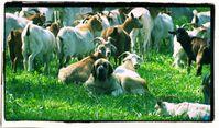 Hüte- und Herdenhunde beiten einen effektiven Schutz vor Wölfen - selbst wenn unnatürlich viele Schafe oder Ziegen gehalten werden (Symbolbild)