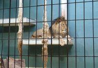 Tod und Qual: Löwenhaltung im Zoo. Bild: © PETA