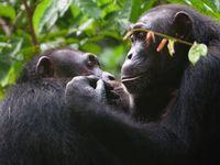 Schimpansen bei der gegenseitigen Fellpflege. Bild: A. Mielke