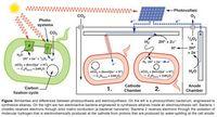 Natürliche (links) und elektronenunterstützte Photosynthese.