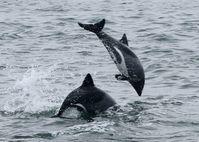 Heaviside-Delfin