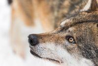 Ein konsequenter Schutz kann dem Wolf nur durch das Artenschutzrecht gewährleistet werden.  Bild: Wildtierschutz Deutschland e.V. Fotograf: Stefan Suittenpointner
