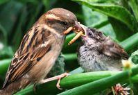 Weiblicher Haussperling (Passer domesticus) füttert Jungvogel mit Käferlarven, Shrewsbury, UK. Quelle: Foto: Maurice Baker (idw)