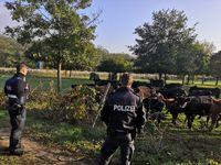 Kühe im Gehege neben der Autobahn. Bild: Polizei