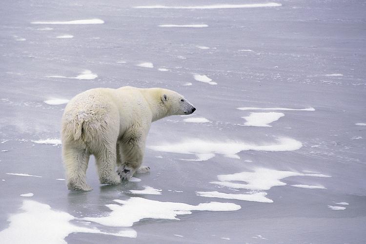 Eisbär – das Symbol der Arktis gibt es bereits seit 600.000 Jahren. Quelle: Copyright:  Hansruedi Weyrich / www.weyrichfoto.ch (idw)