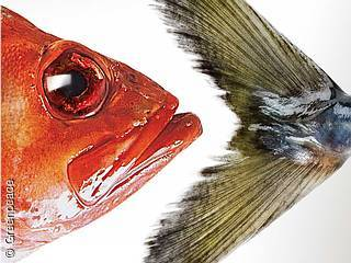 Titelbild Fischratgeber / Ausschnitt Bild: Greenpeace