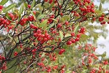 Früchte am Strauch von Aronia arbutifolia Bild: Abrahami / de.wikipedia.org
