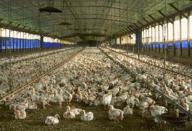 Bild: Hühnermast