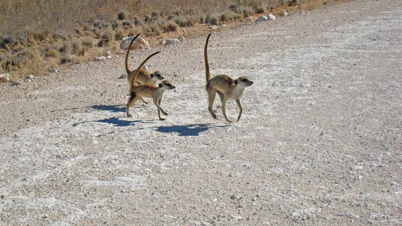 Eine Gruppe von Erdmännchen überquert die Strasse - rangtiefe Individuen müssen dabei oft die Führung übernehmen. Quelle: © Simon Townsend  / Kalahari Meerkat Project (idw)