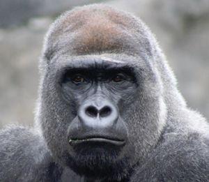 Vom Aussterben bedrohter Gorilla: Handy-Recycling lohnt.