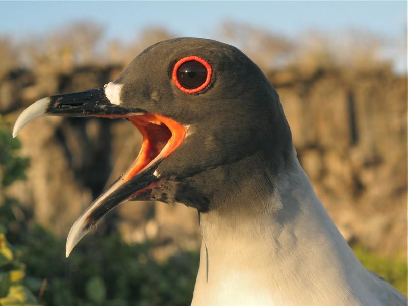 Gabelschwanzmöwen leben auf den Galapagos-Inseln. Sie halten sich tagsüber an ihrem Nest an Land auf. Nachts fliegen sie zum Fischen aufs Meer. Quelle: MPI f. Ornithologie (idw)