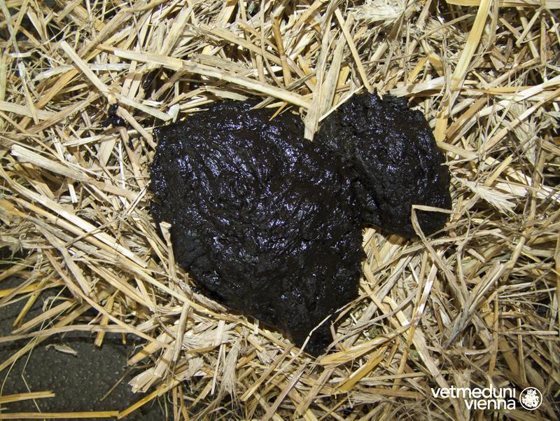 Verdautes Blut färbt den Kot erkrankter Tiere schwarz ...