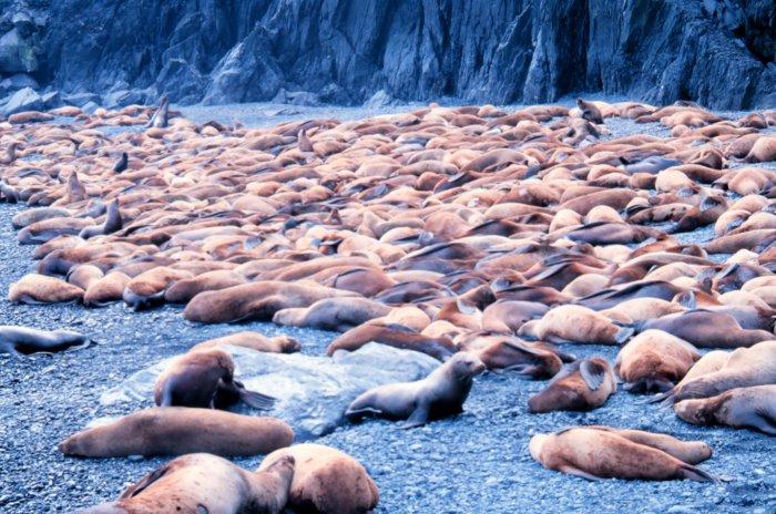 Große Robbenkolonie