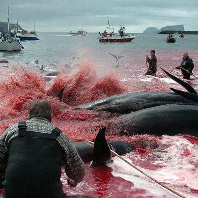 Direkt vor unserer europäischen Haustür werden alljährlich rund 1000 Meeressäuger auf den Färöer-Inseln getötet. Bild: WDSF