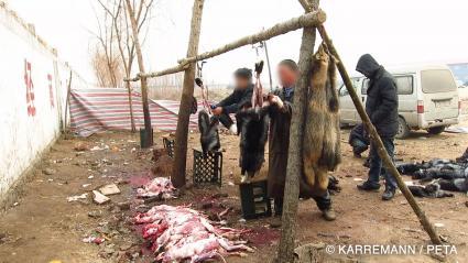 """Das PETA-Videomaterial zeigt, wie Händler Tiere mit Eisenstangen töten oder lebenden Tieren den Pelz abziehen. Bild: """"obs/PETA Deutschland e.V./Manfred Karremann für PETA"""""""
