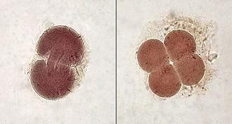 Embryonen im 2- und 4-Zellen-Stadium. Bild: Minami Himemiya / de.wikipedia.org