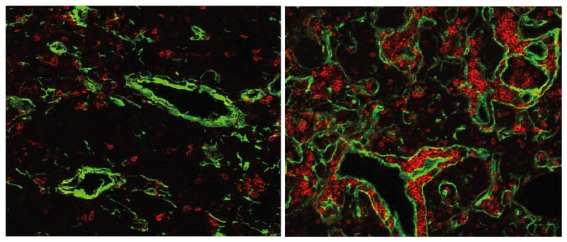 Der normale Thymus einer Maus (links) enthält nur wenige B-Zellen (rot). Wenn das Gen FOXN4 aktivier Quelle: MPI für Immunbiologie und Epigenetik (idw)