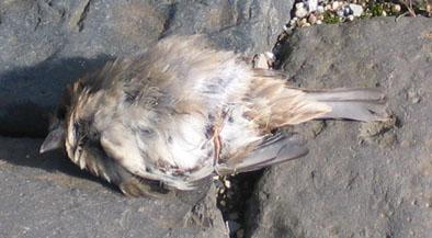 Gefundener toter Vogel in Schwalmtal